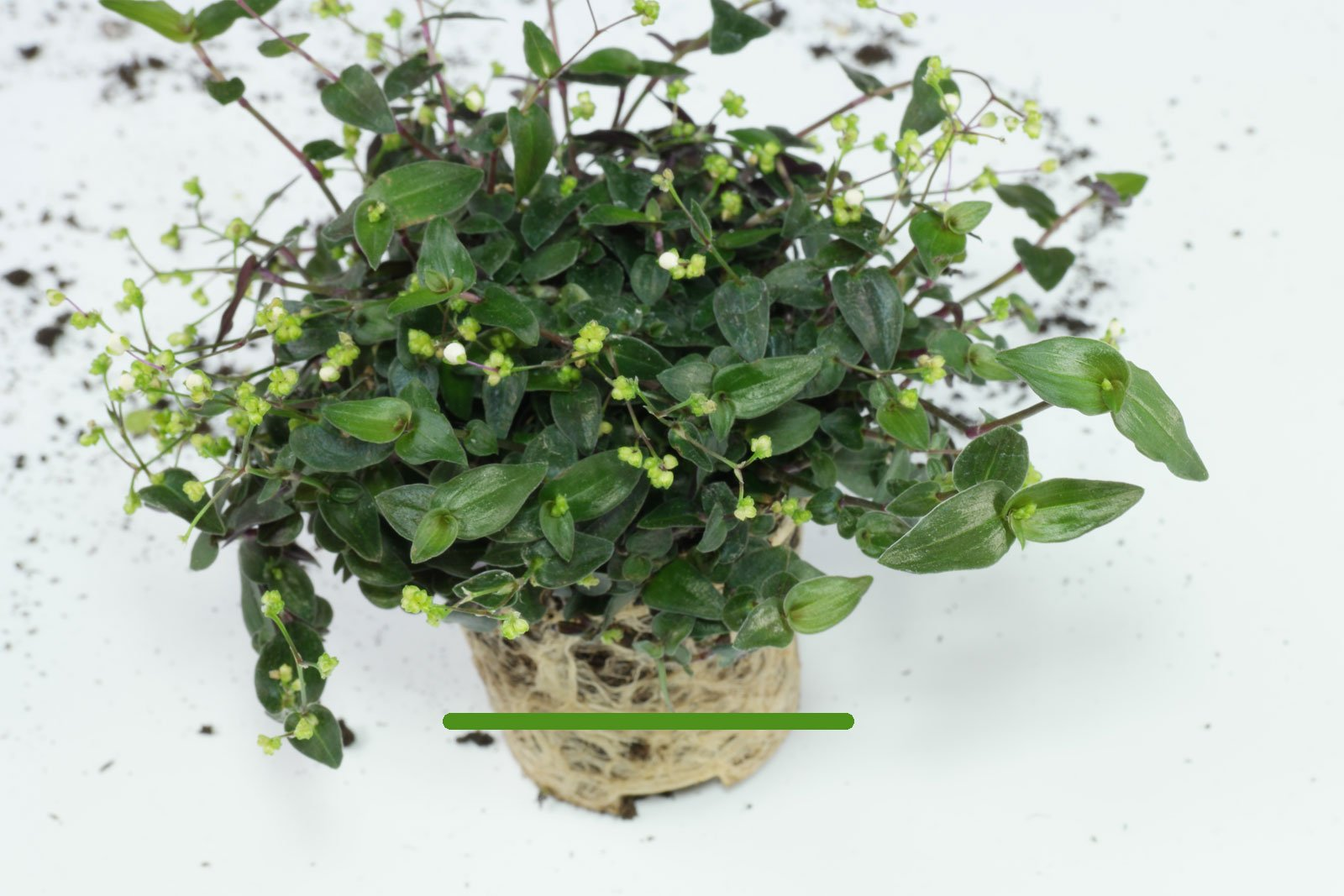 Gibasis geniculata gießen