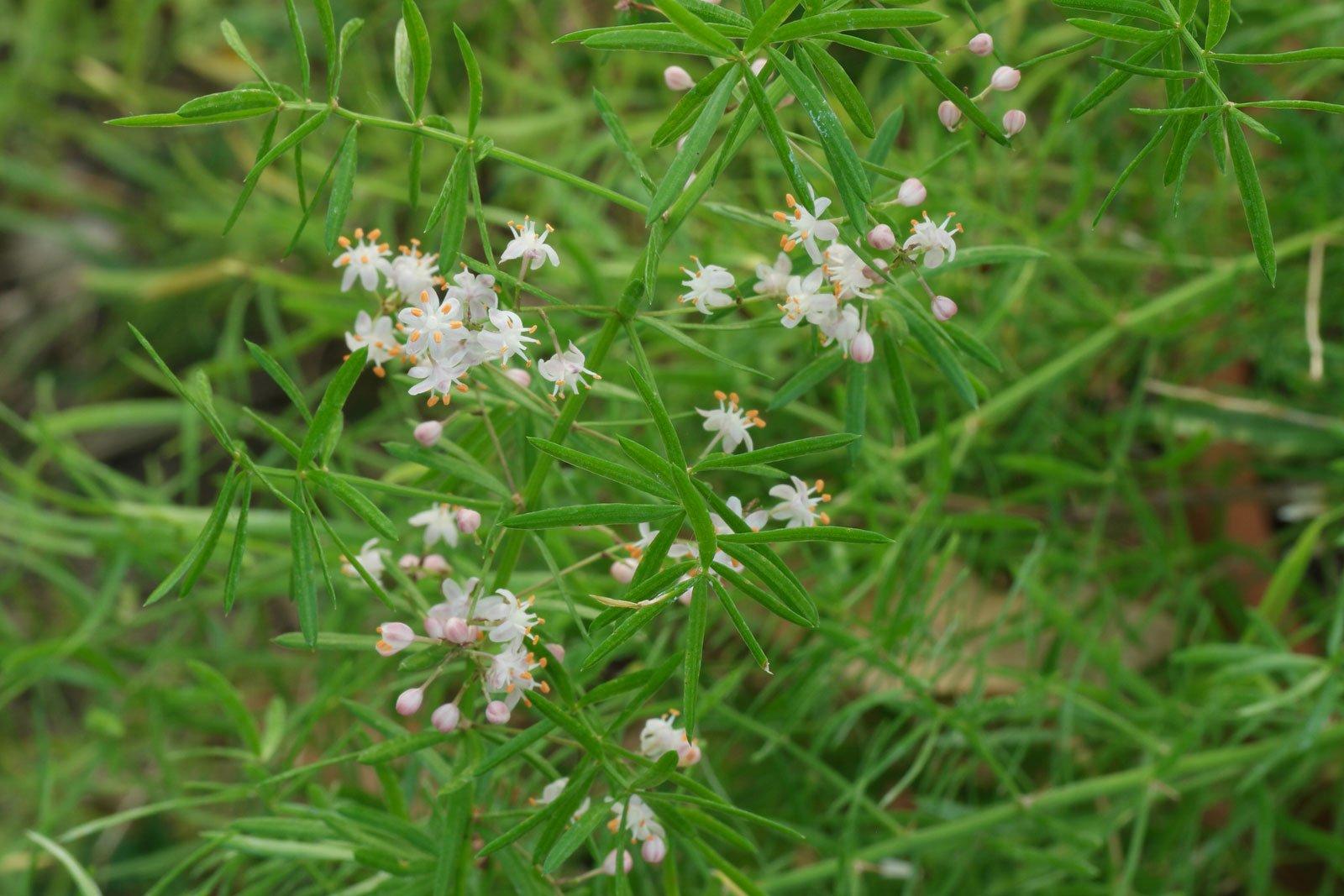 Zierspargel Blüten
