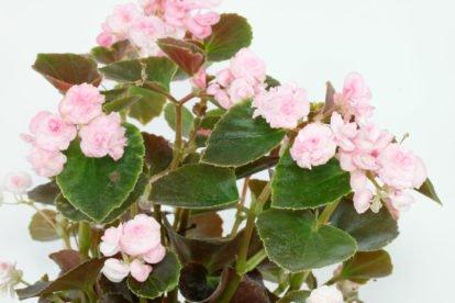 Eisbegonie Begonia