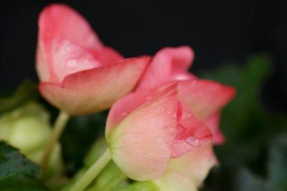Begonia hiemalis