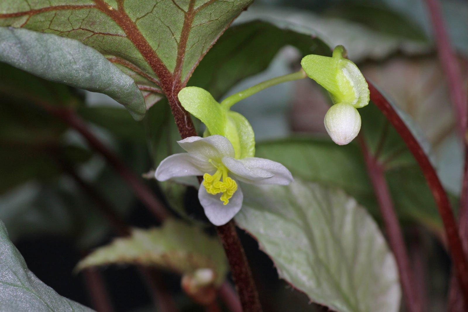 Begonia × rex