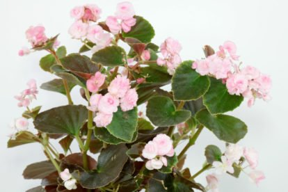 Begonia × semperflorens Doublet