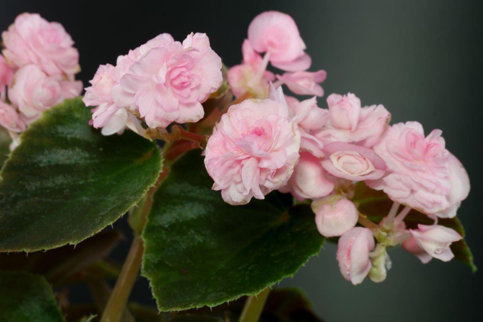 Begonia × semperflorens Doublet Pink