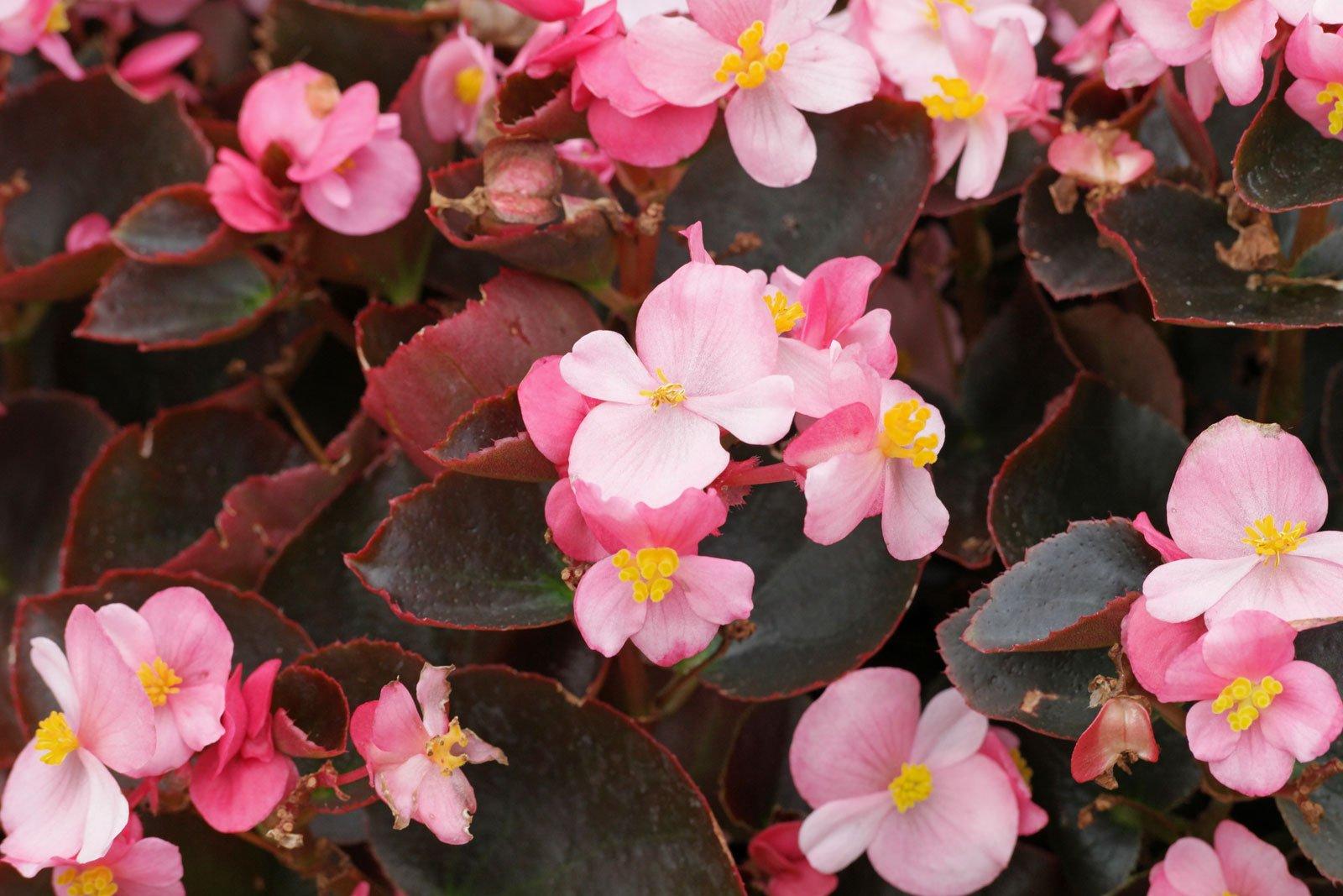 Eisbegonie rosa Blüten
