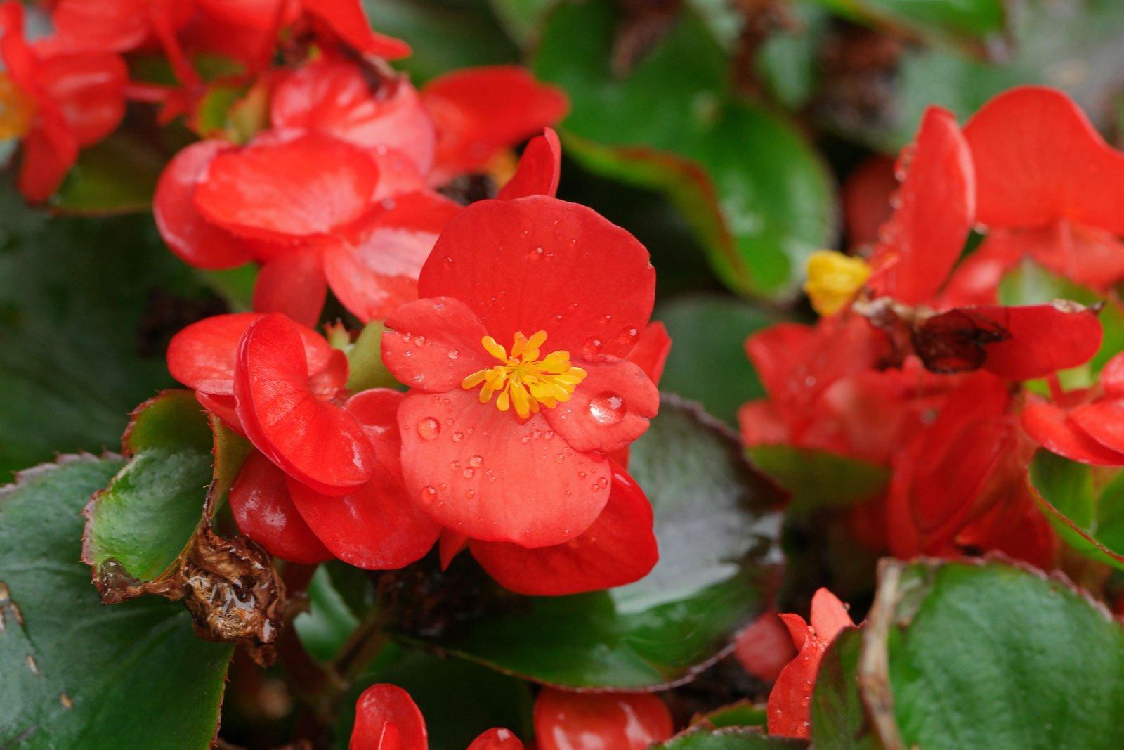 Eisbegonie rote Blüten