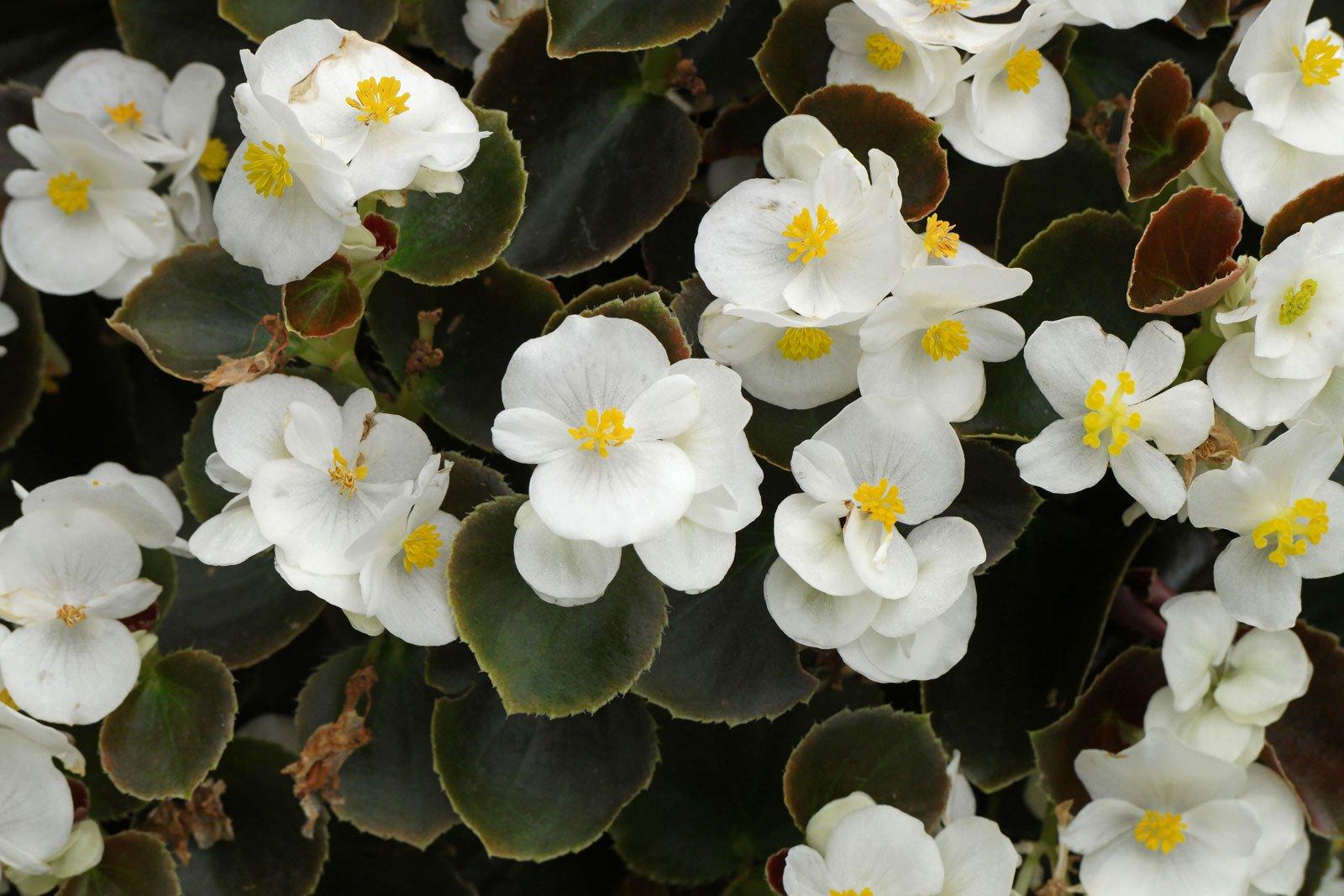 Eisbegonie weiße Blüten