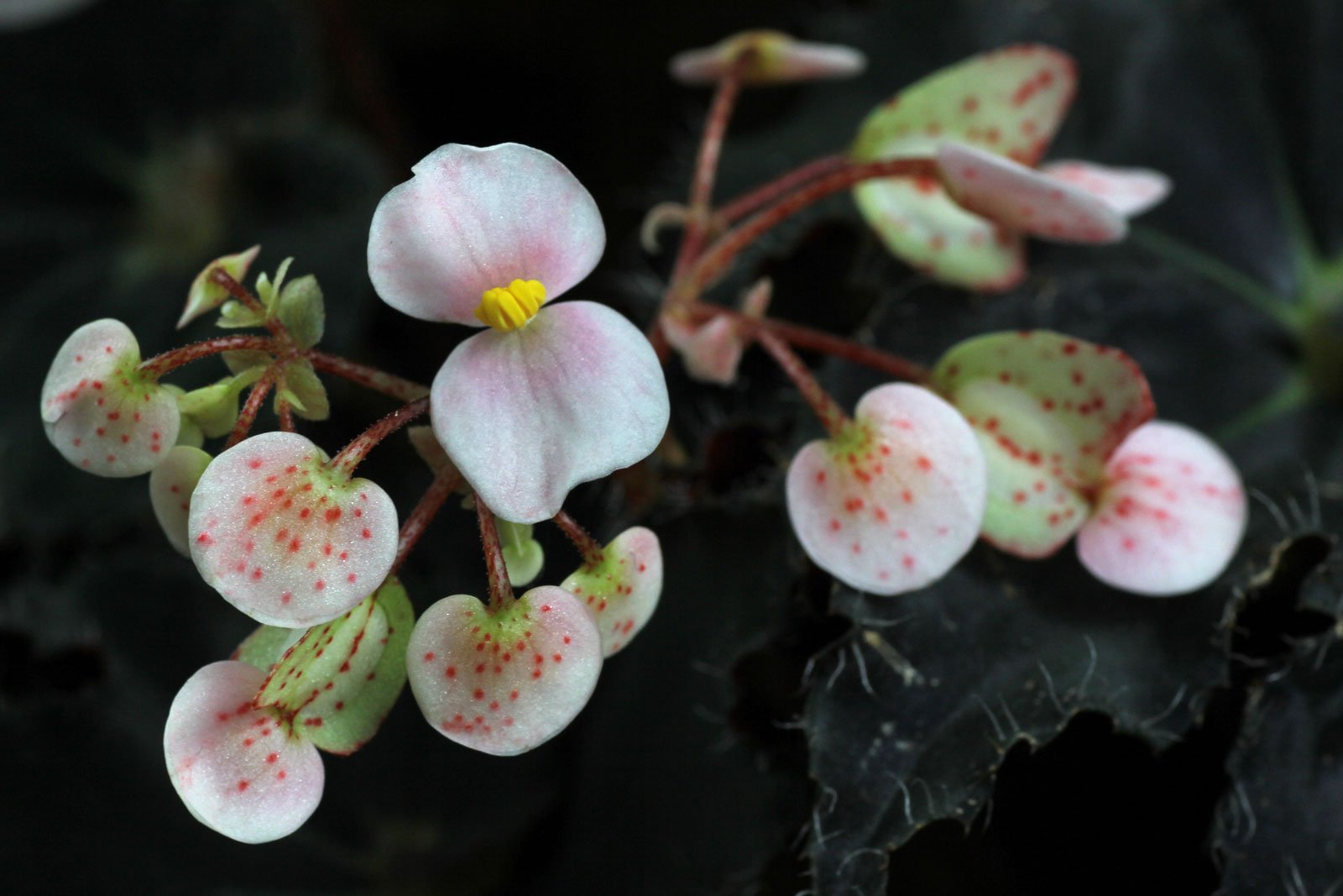 Rex-Begonie Blüten