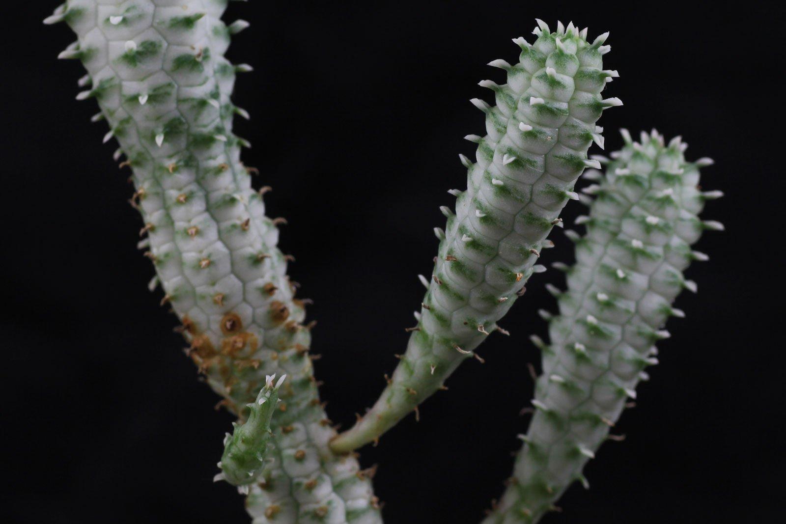 Euphorbia mammillaris Variegata