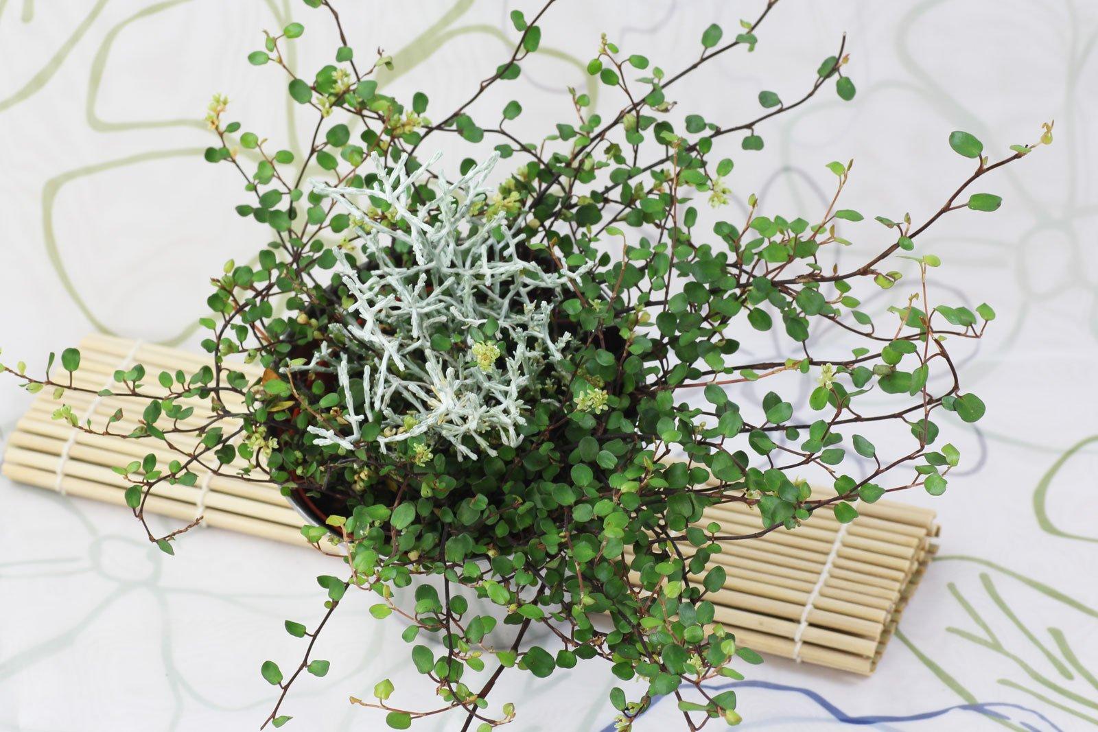 Kiwi-Knöterich und Stacheldrahtpflanze