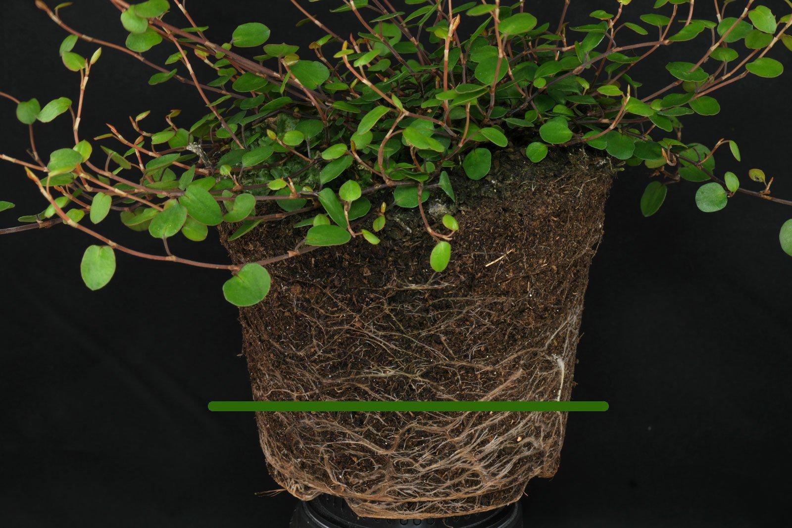 Muehlenbeckia complexa gießen
