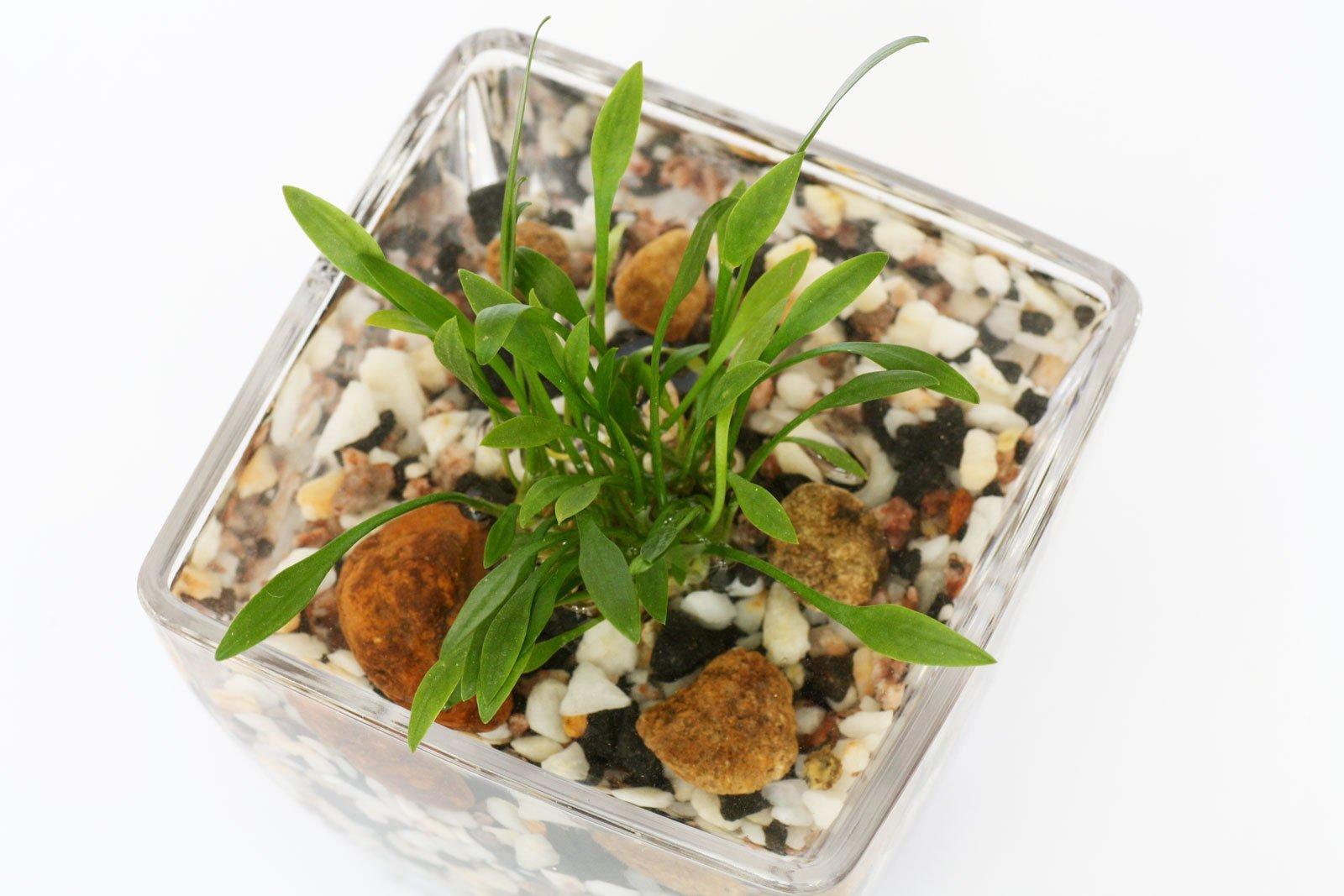 Wasserpflanze im Glas