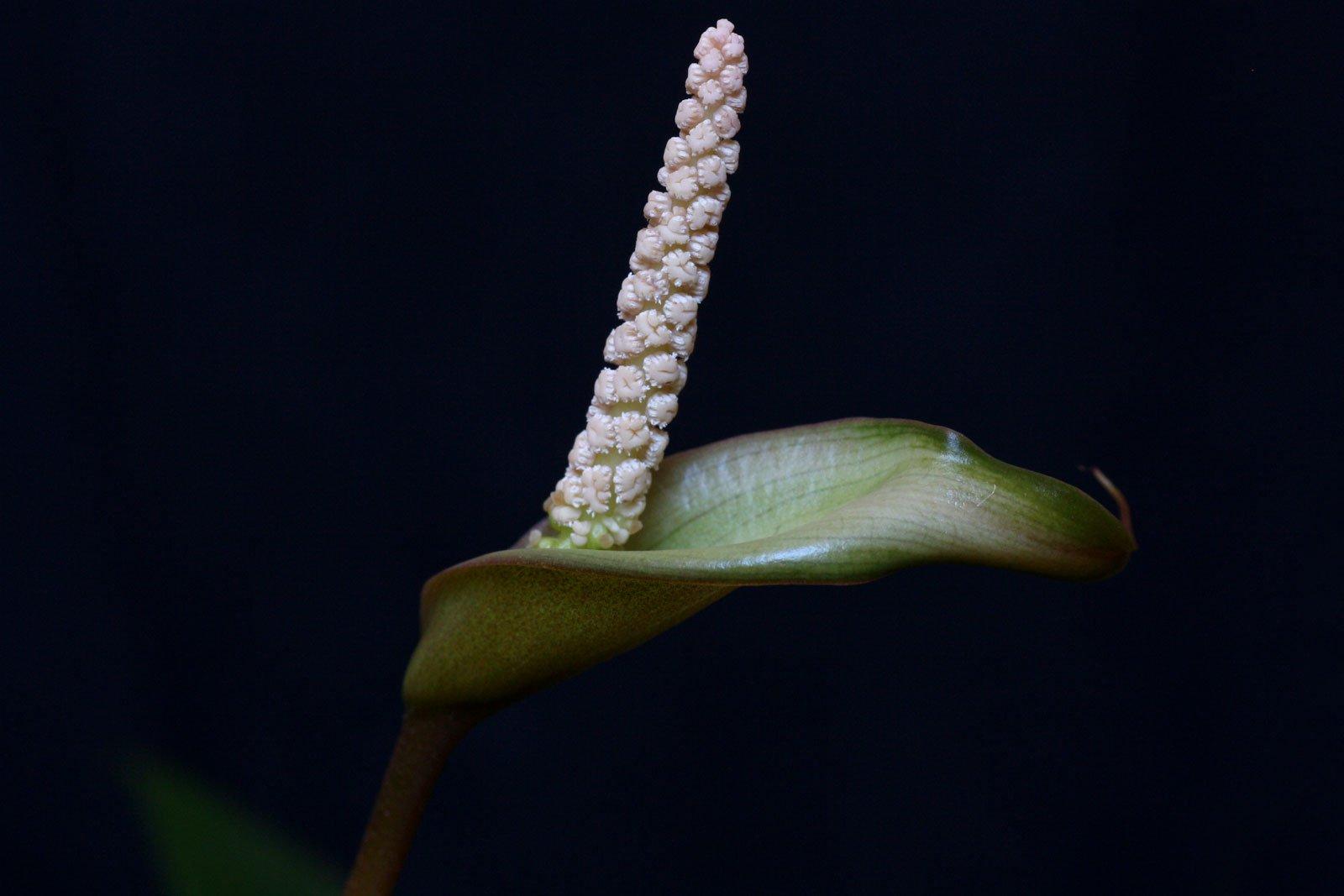 Anubias barteri Blüte