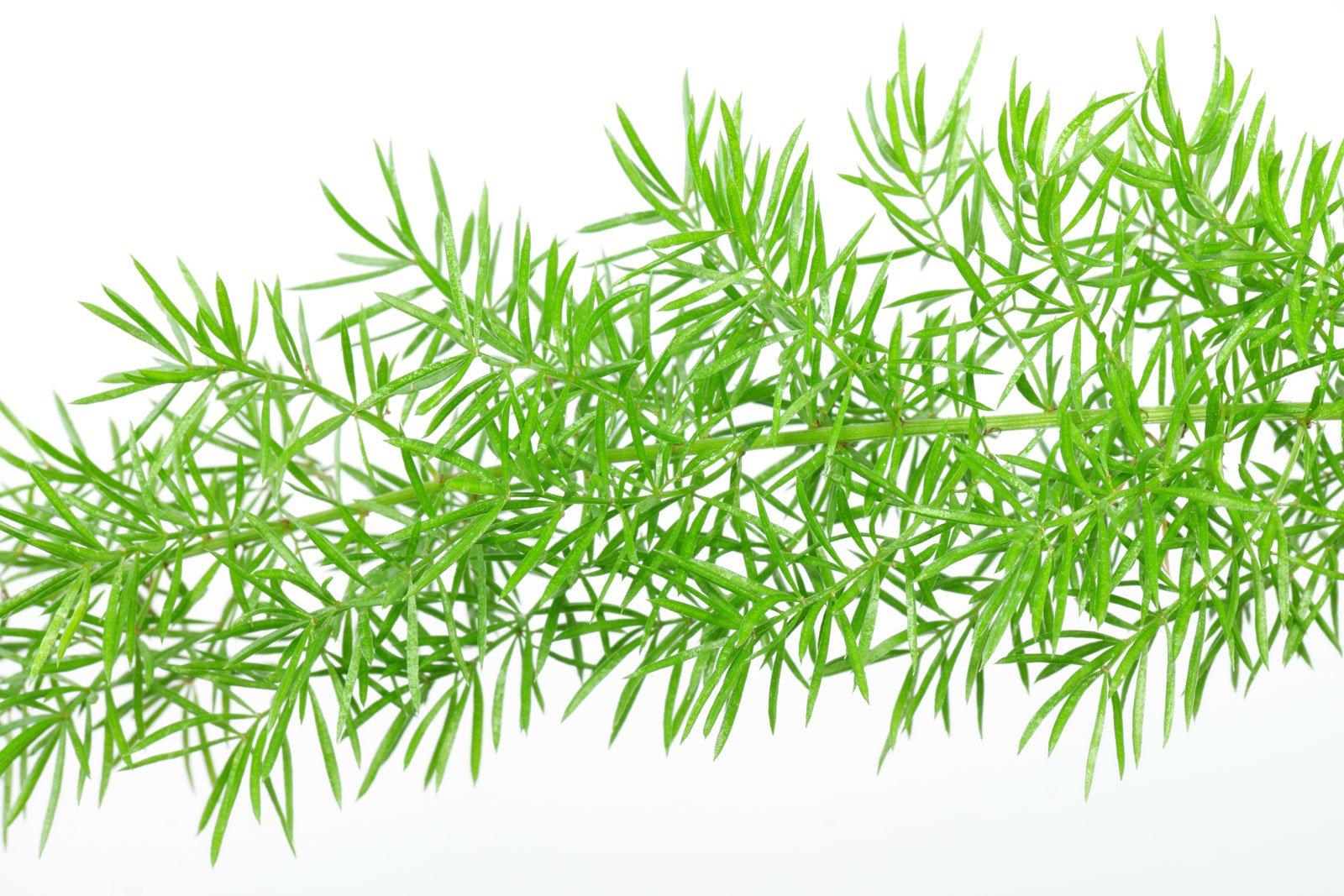 Asparagus densiflorus Myersii