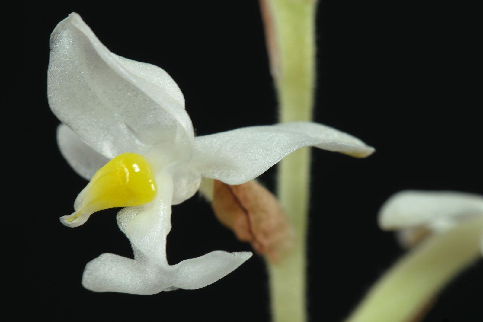 Juwelorchidee Blüte