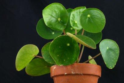 Kanonierblume (Pilea peperomioides)