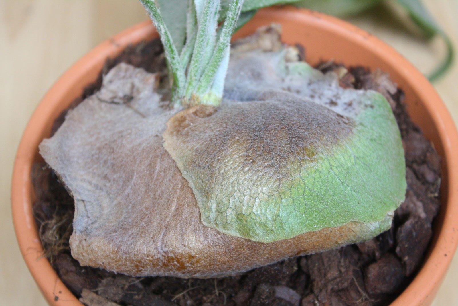 Platycerium bifurcatum Nischenblätter