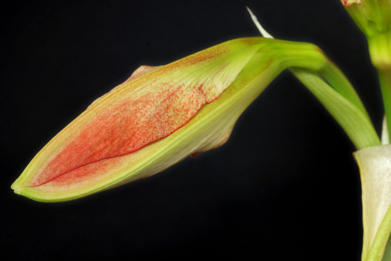 Amaryllis Blütenknospe
