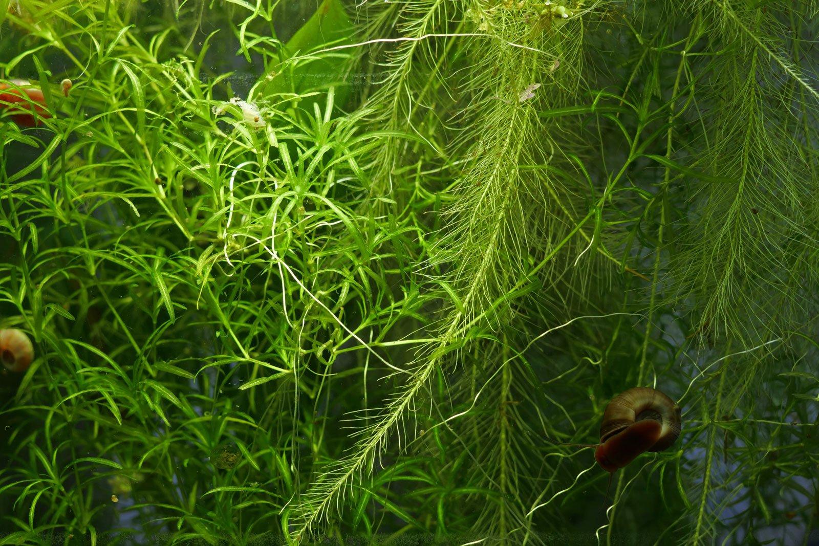 Nixkraut im Aquarium