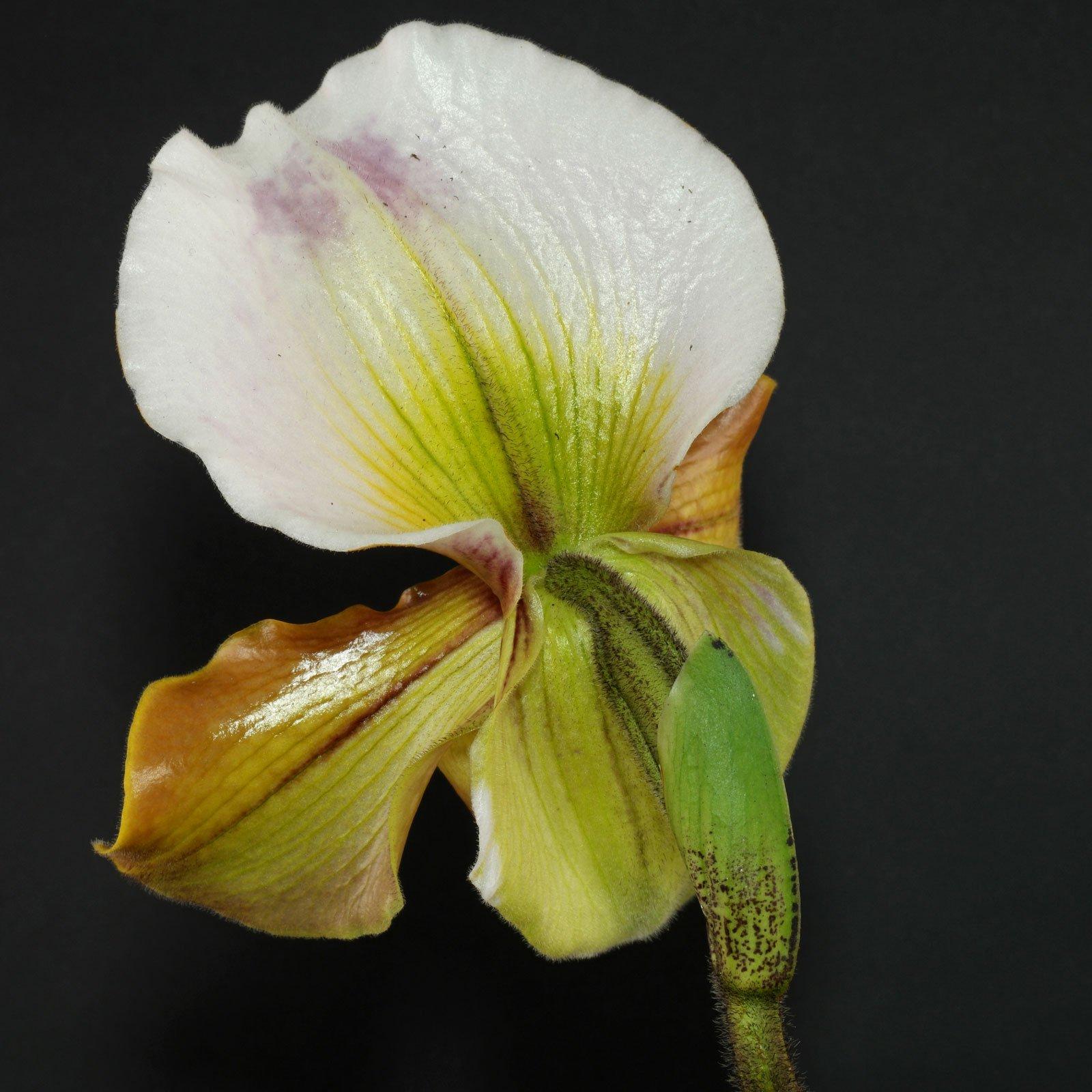 Paphiopedilum Blüte