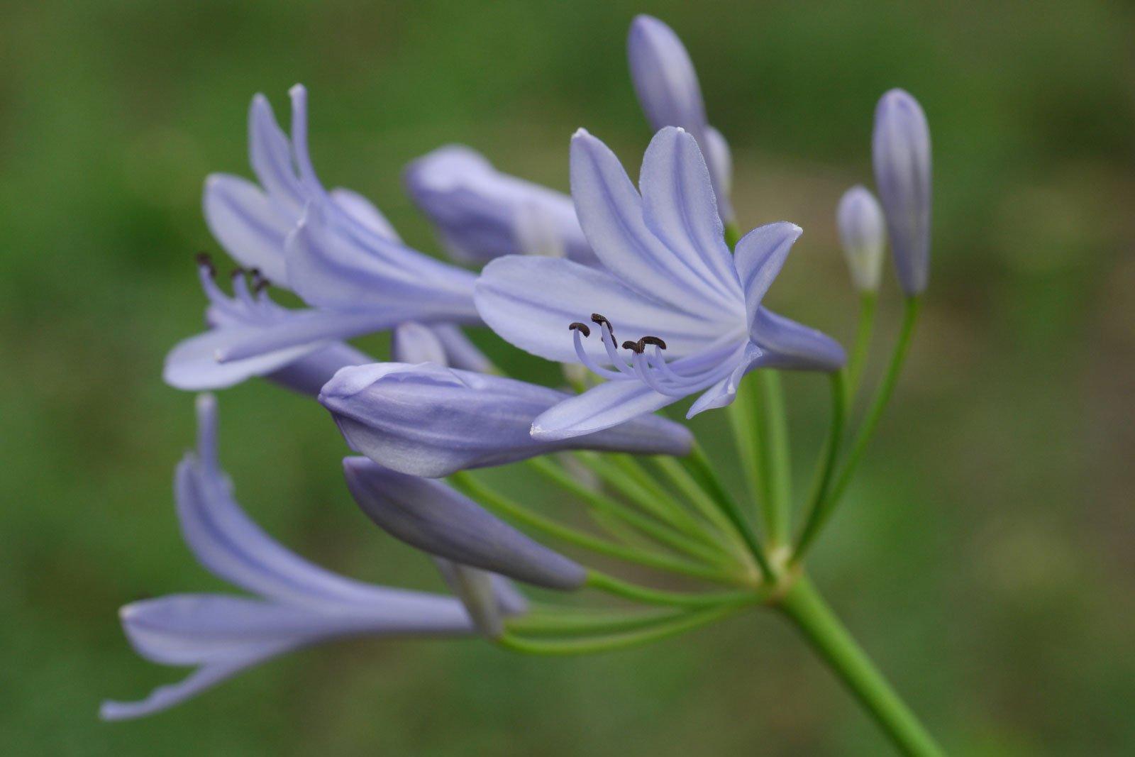 Schmucklilie Blüten