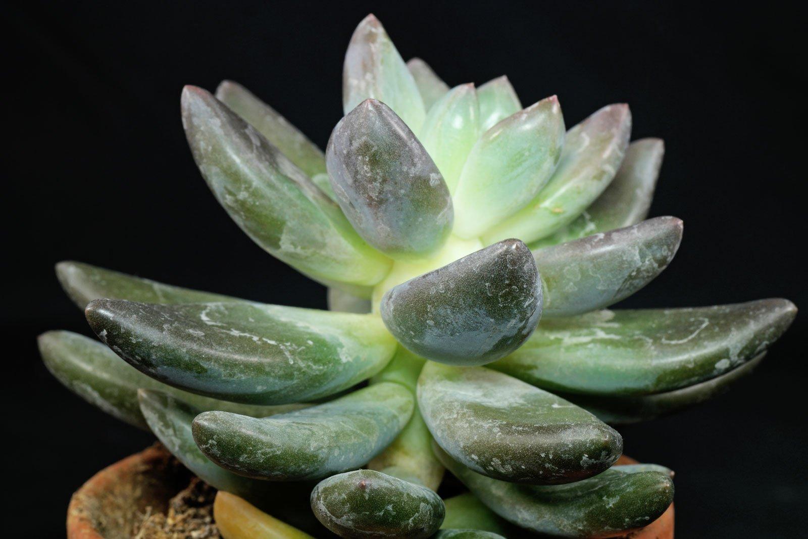 Pachyphytum kimnachii