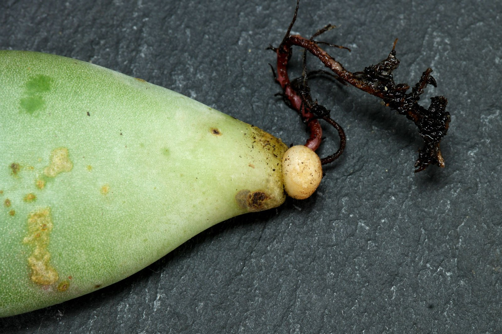 Pachyphytum oviferum Blattsteckling