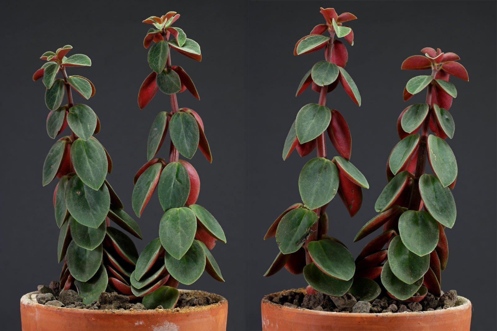 Peperomia verticillata Red Log