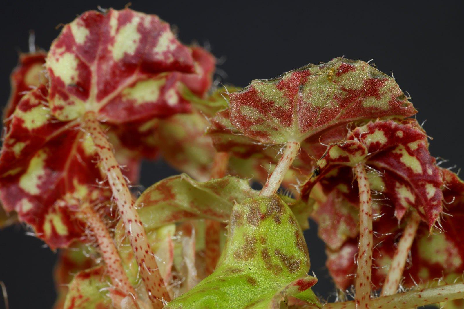 Wimpern-Begonien Blätter