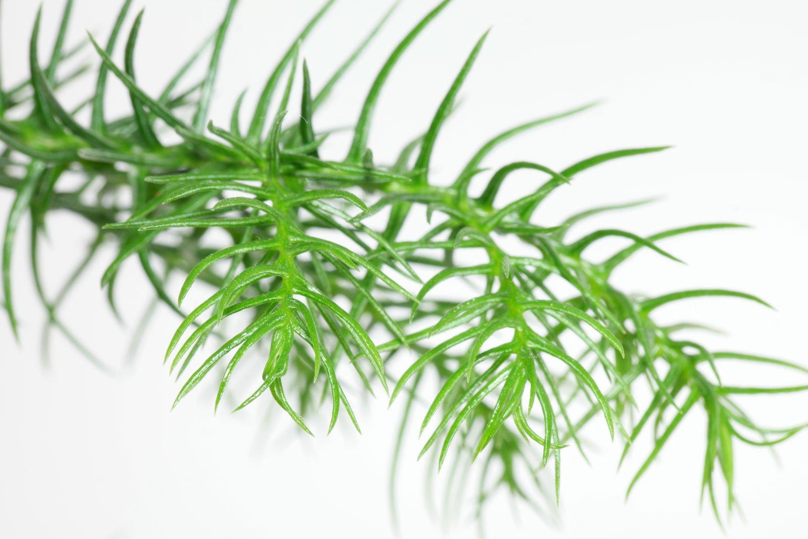 Zimmertanne Blätter