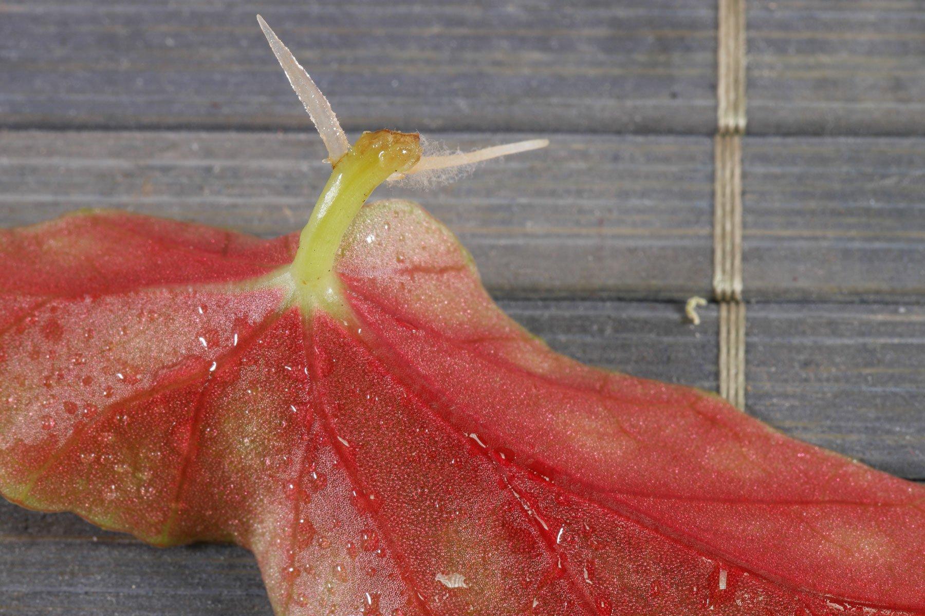 Begonia maculata Blattsteckling