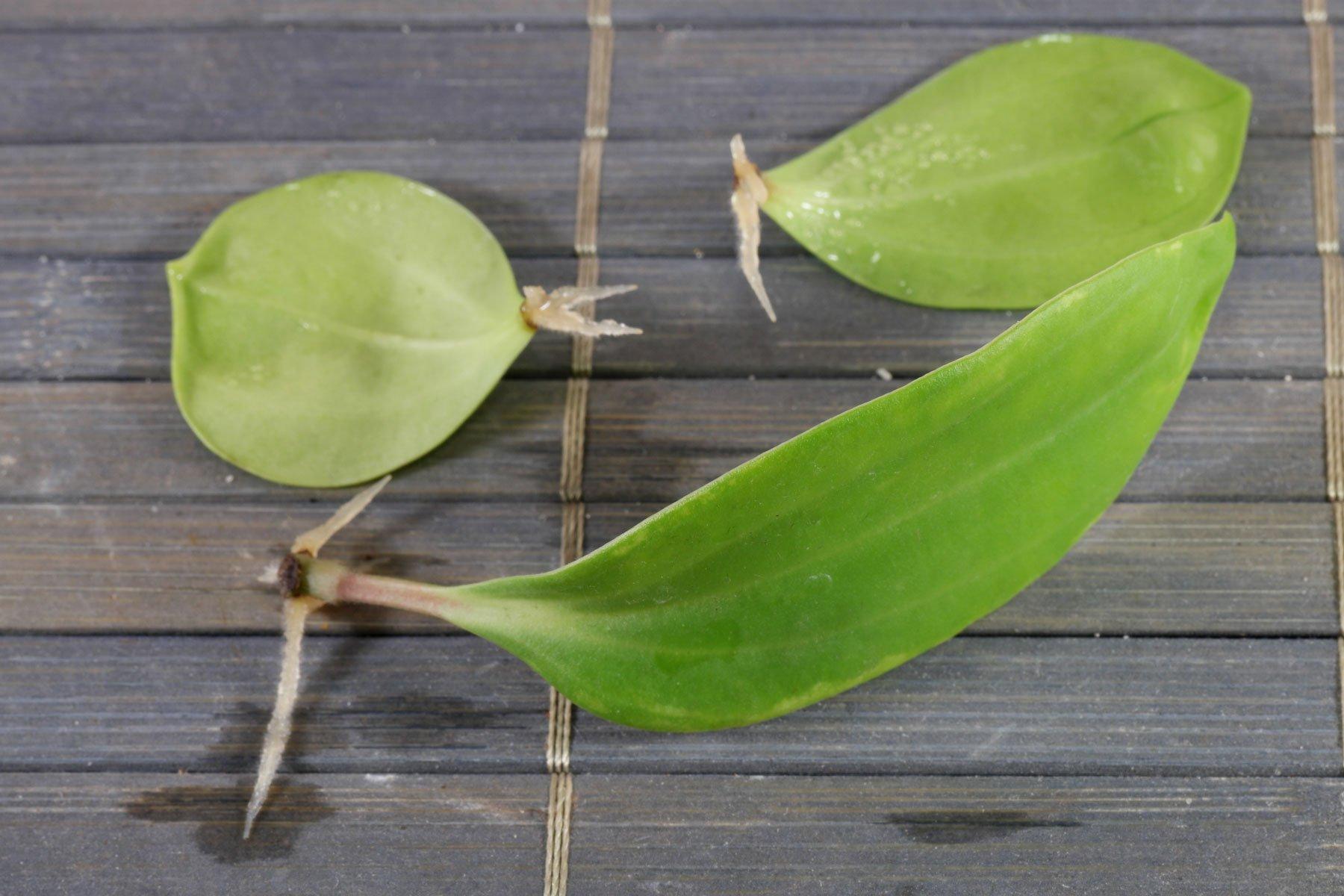 Peperomia pereskiifolia Blattstecklinge