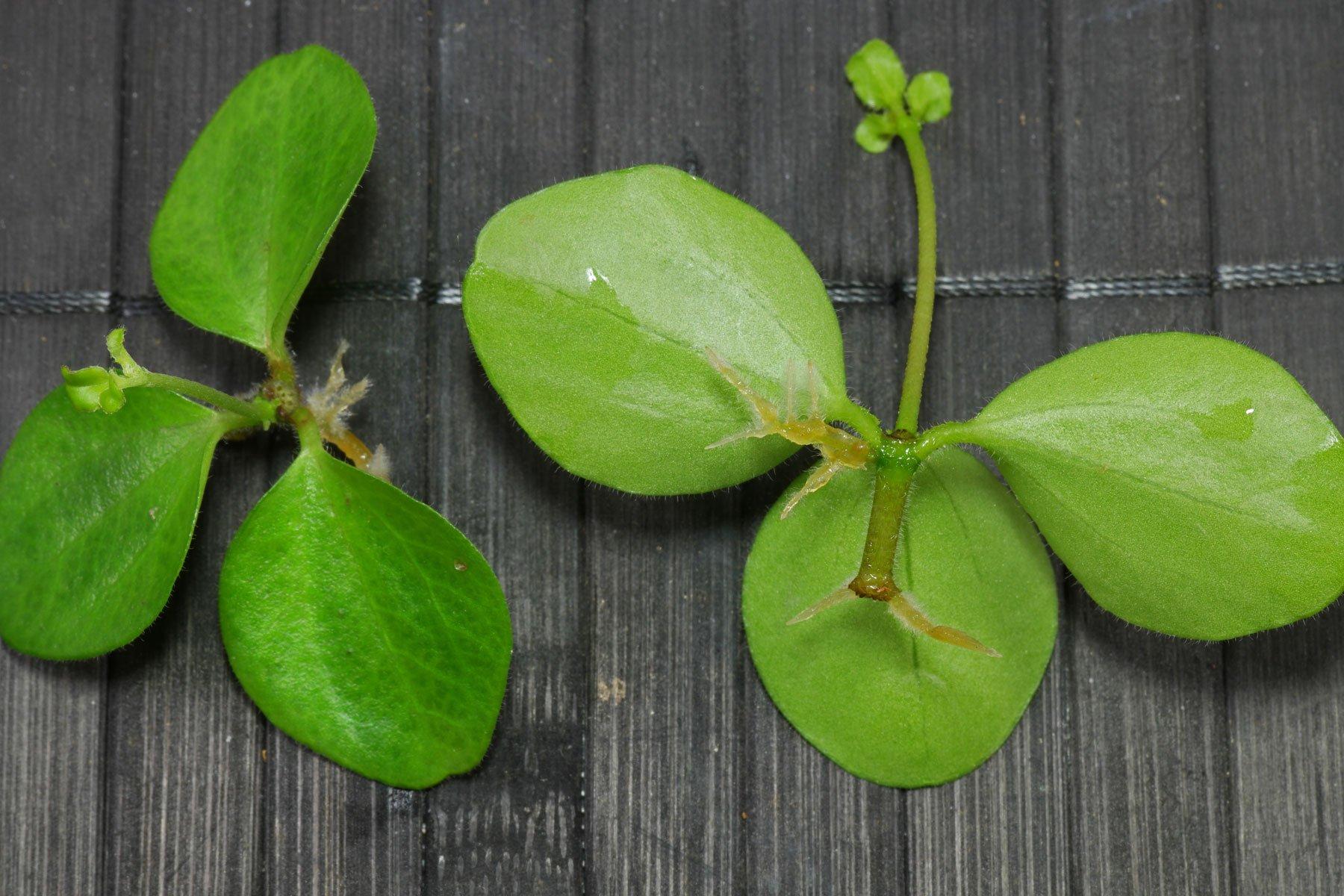 Peperomia rotundifolia Stecklinge