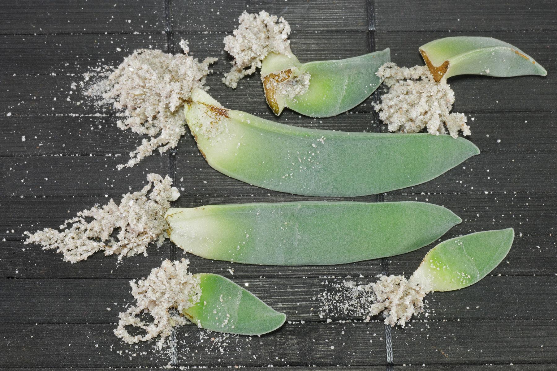 Propellerpflanzen Blattstecklinge