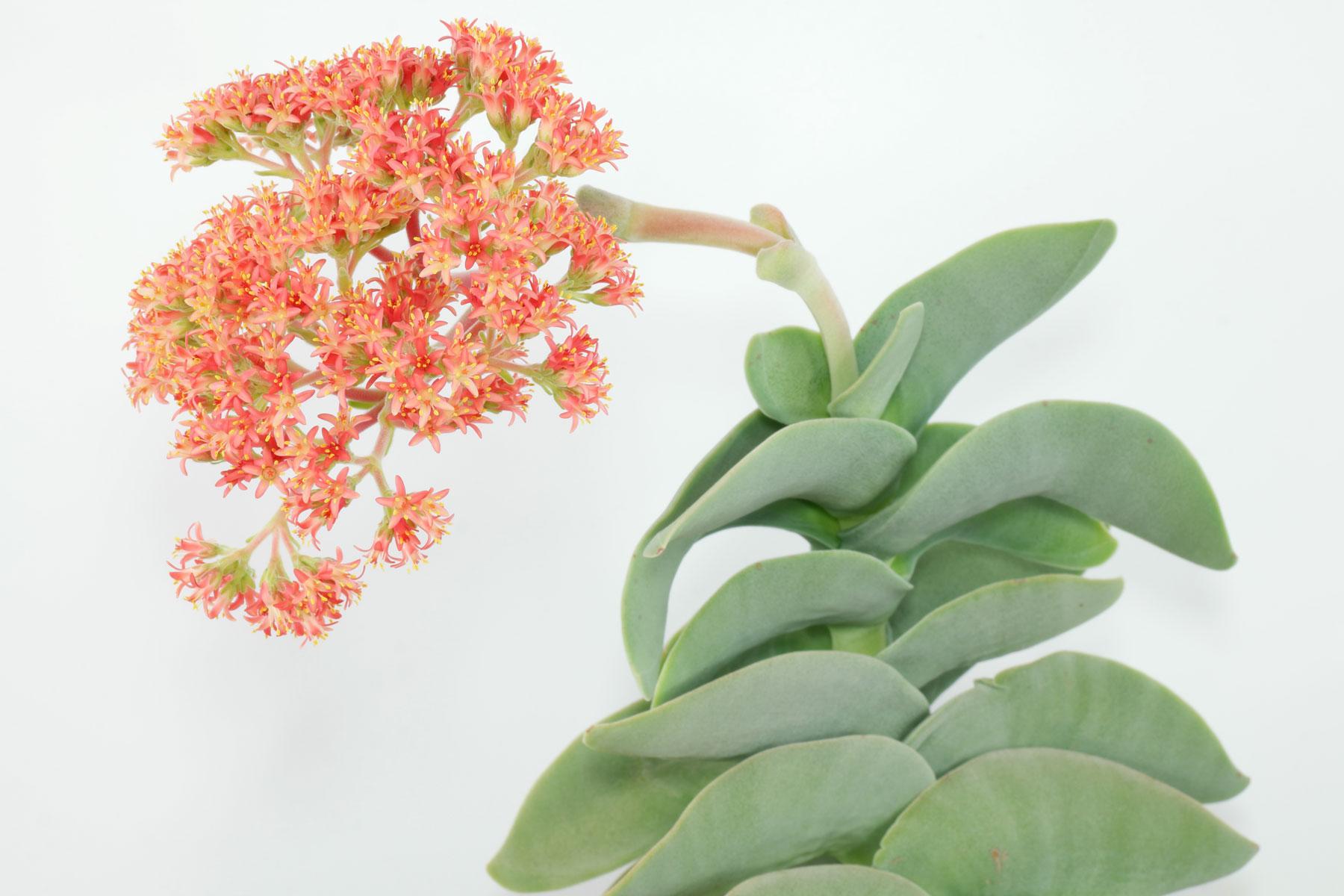 Propellepflanze Blüten