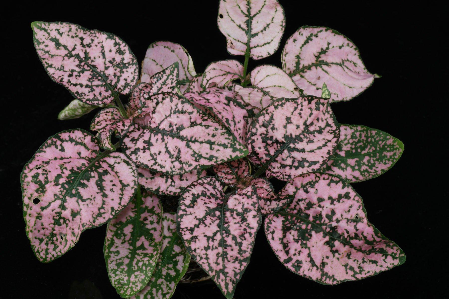 Punktblume rosa