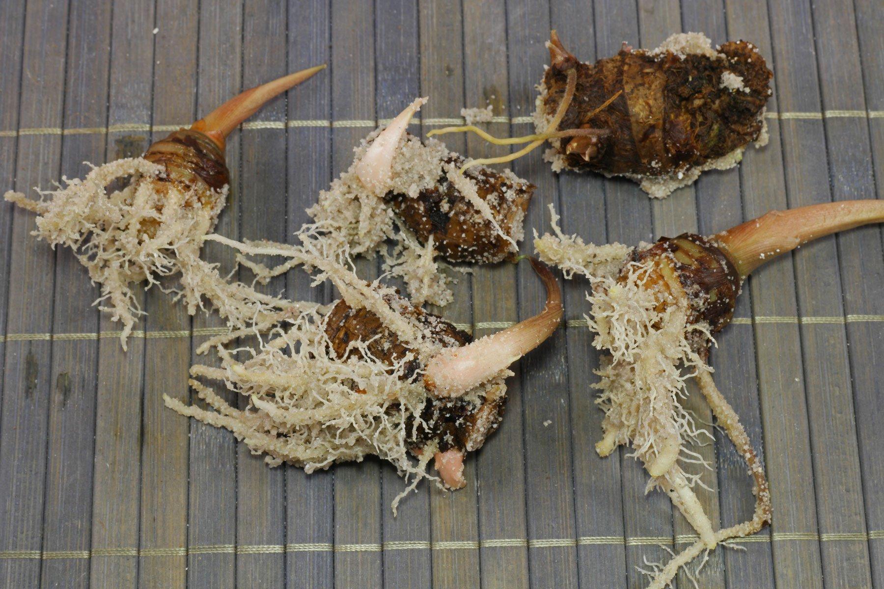 Alocasia sanderiana Stecklinge bewurzelt