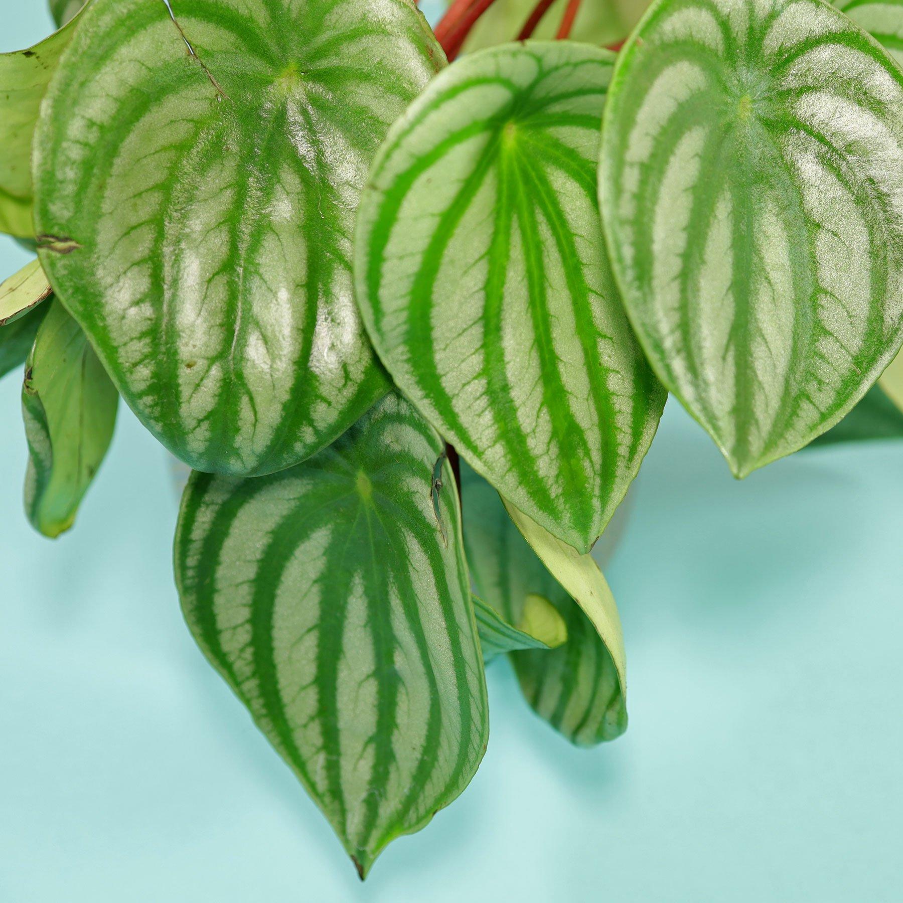 Peperomia argyreia Blätter
