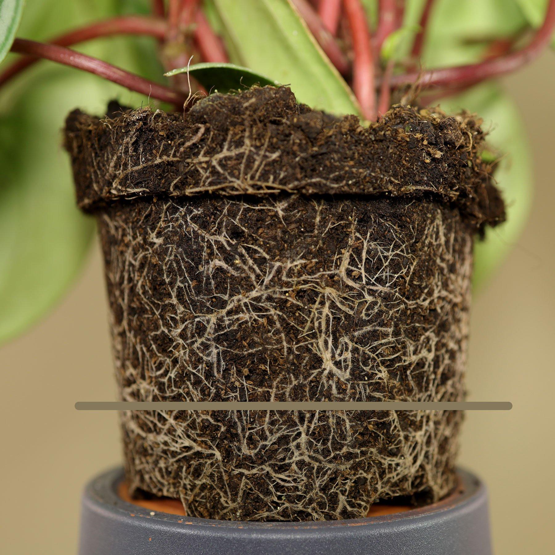 Peperomia argyreia gießen