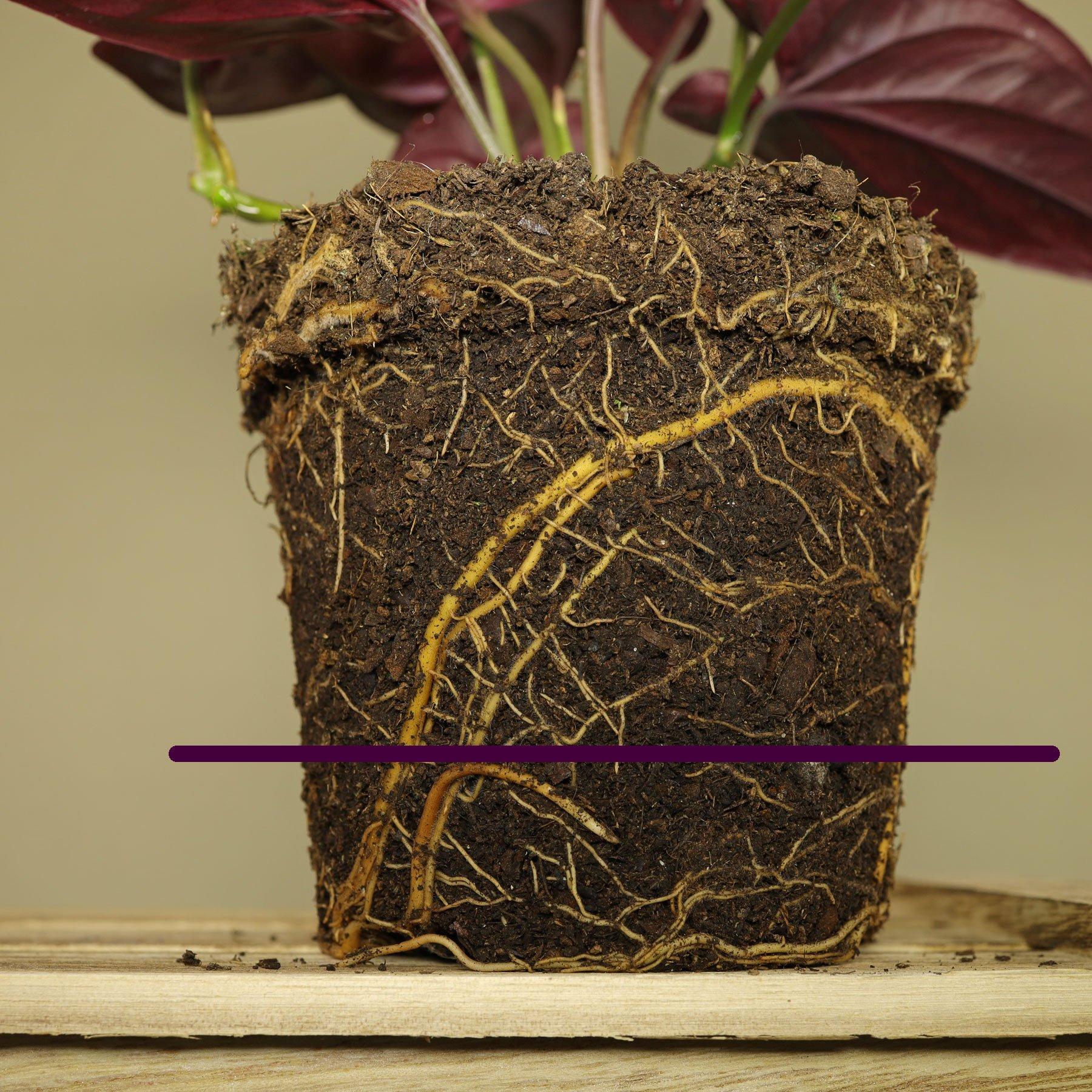 Syngonium erythrophyllum gießen
