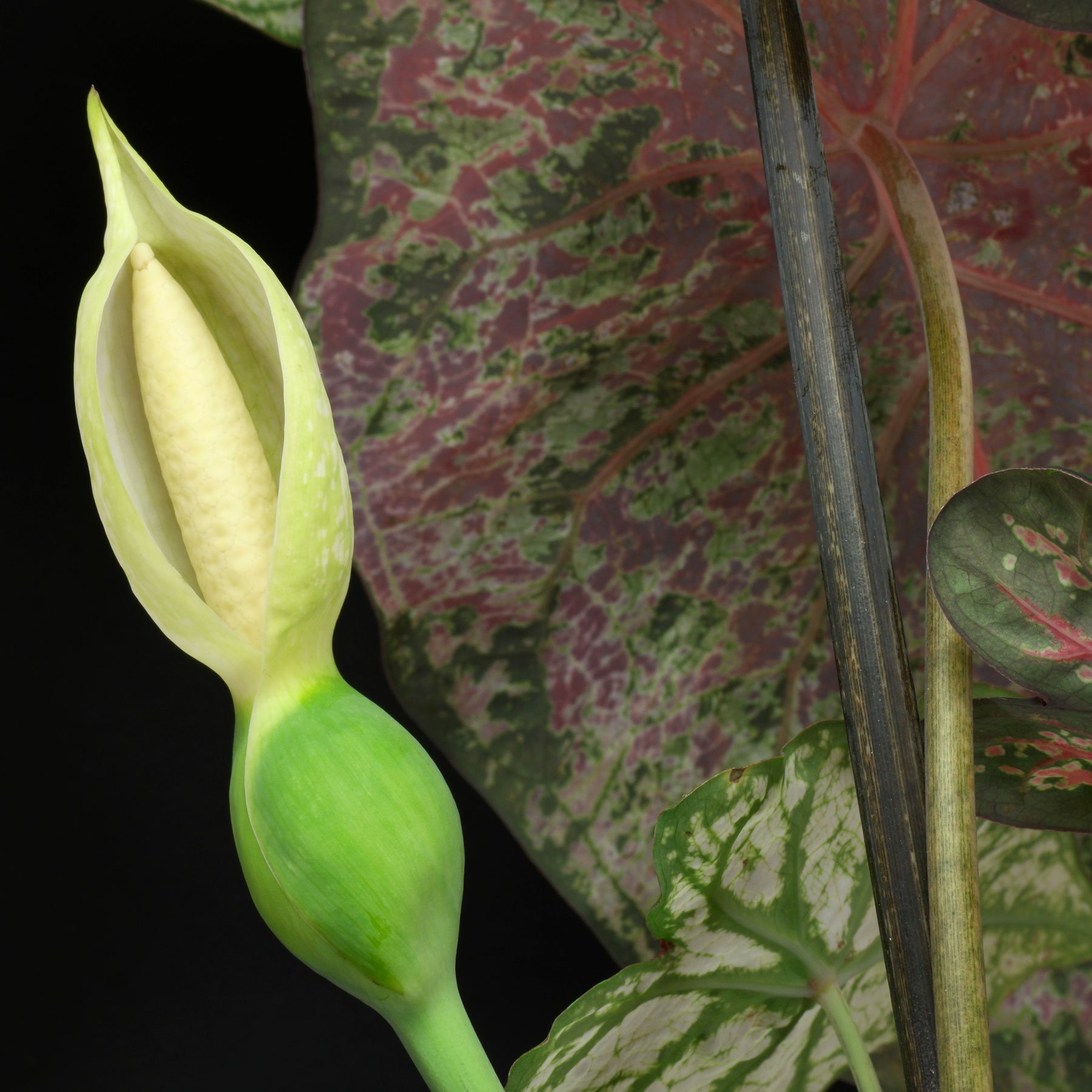 Caladium Blüte