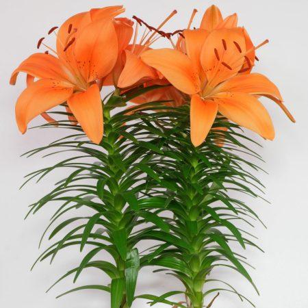 Lilie Asiatische Hybride