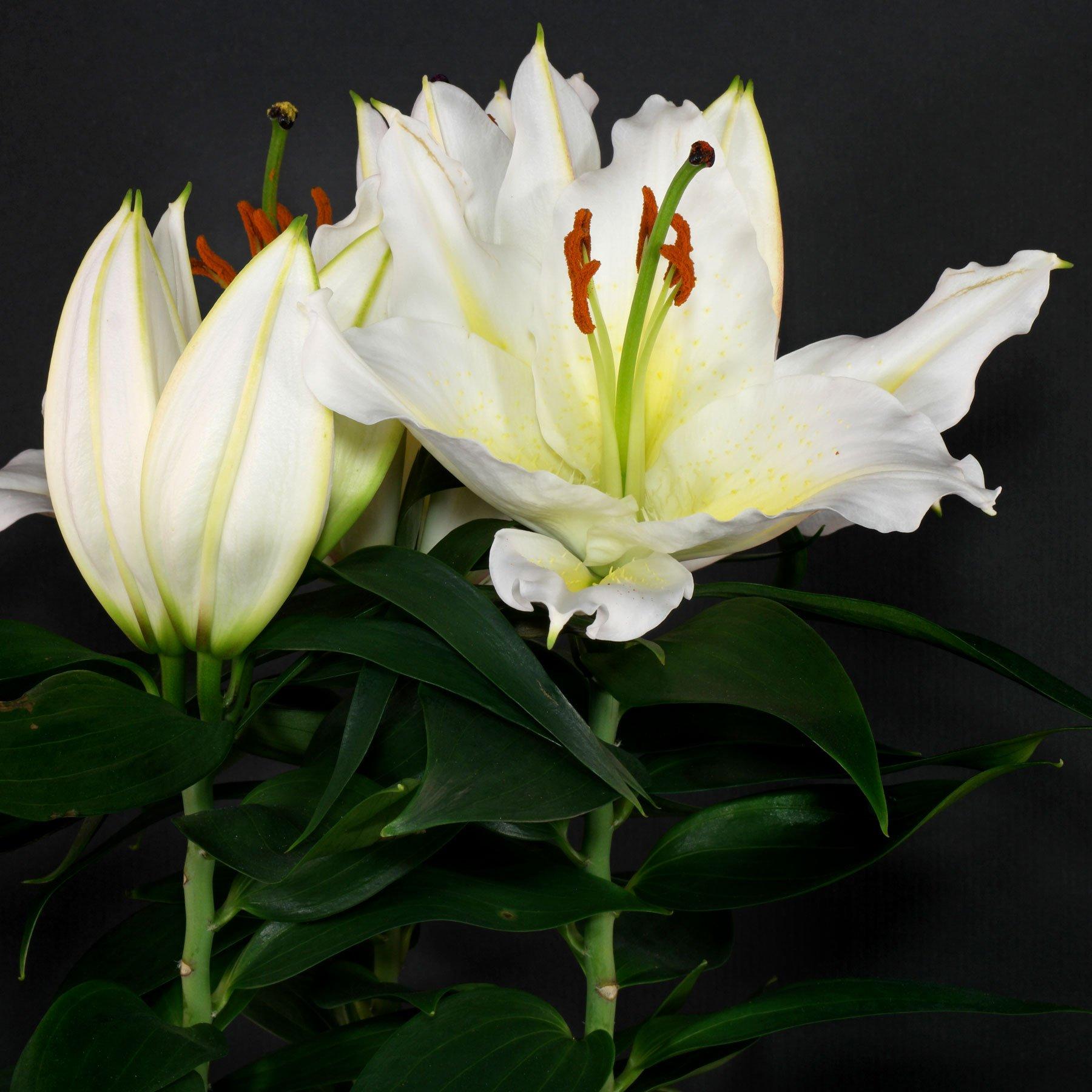 Lilie Orientalische Hybride