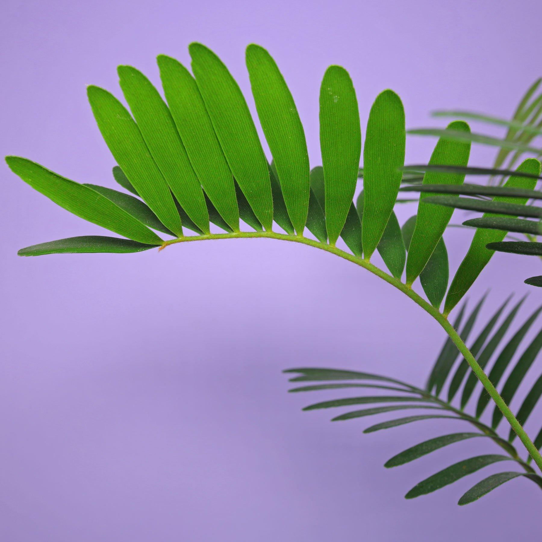 Palmfarn Blatt