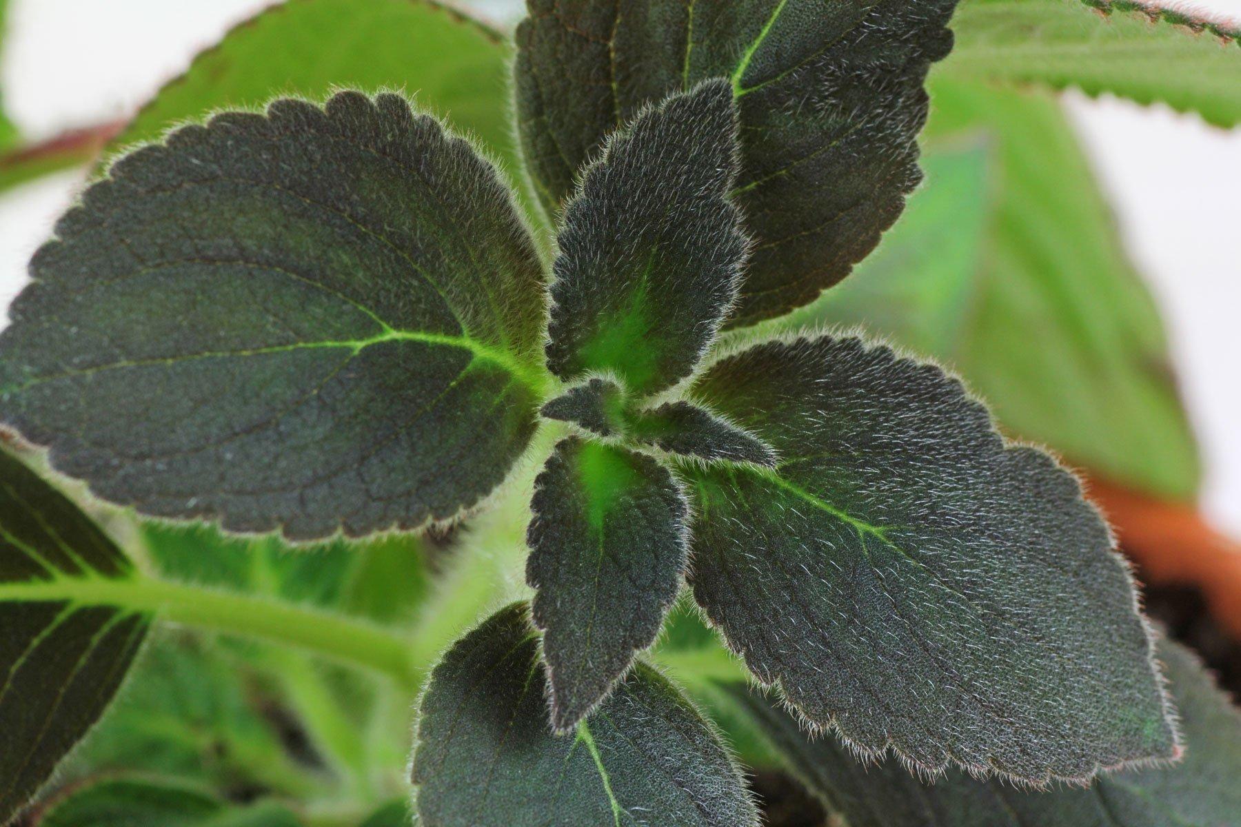 Kohleria warszewiczii Blätter
