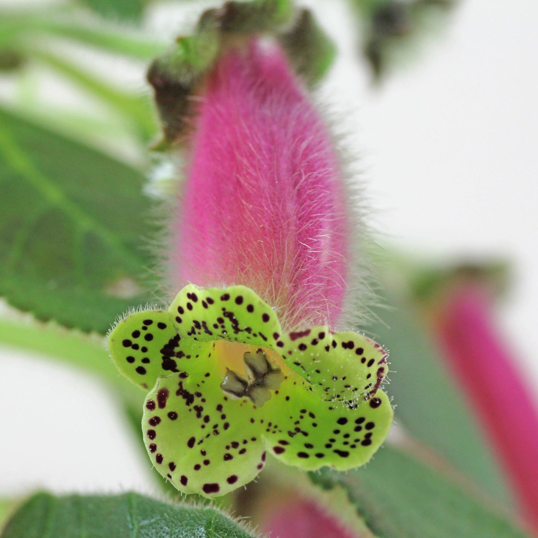 Kohleria warszewiczii Blüte